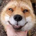 狐狸被救後會翻肚討摸摸 叫聲超萌又愛笑網:已融化!