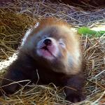 荷蘭動物園喜迎小貓熊寶寶 鏡頭前突然「哈啾」萌翻所有人