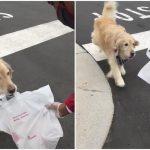 黃金獵犬幫主人「跑腿」外帶速食 萌翻天晉升廣告明星