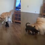 小黑貓找大狗來「比試身手」 暖金倒地故意示弱:本汪投降!