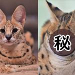「平平是藪貓」長相竟天差地遠 網大笑:右邊是經歷什麼?