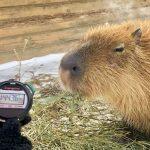 動物園舉行「水豚泡湯大賽」 冠軍長泡104分鐘:爽啊!